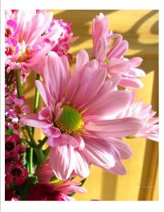 Pink+Mum+close+up+photo,+4+4+10,+w+wtrmk,+no+bkgrd+color,+jpeg+file[1]
